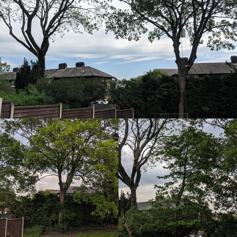 Image 4 - Removed some self-set sycamores in these back gardens to inprove light. Whilst also crownlifting and deadwooding the two large Ash trees.