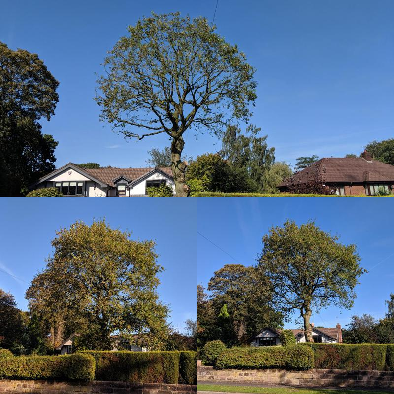 Image 8 - Here we completed a 1.5mtr crown reduction on the TPO'd tree following the spec exactly to the councils guidelines. Deadwooding and thinning of the Crown was also needed.