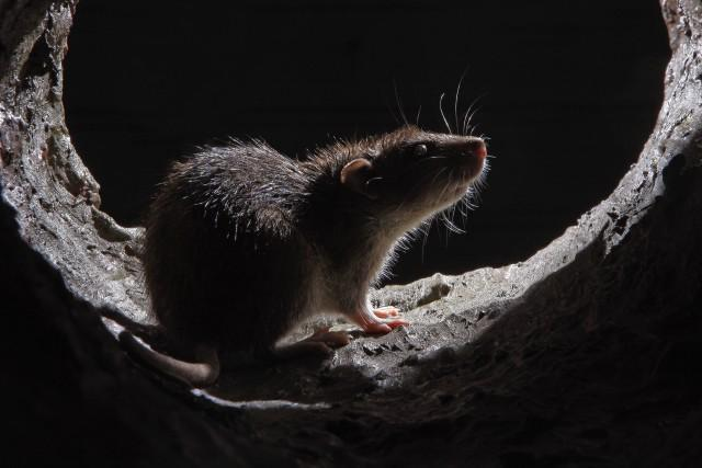 Image 6 - Rats are cute but do you want them in your home??? Get a drain inspection and make sure your drains are in good condition.