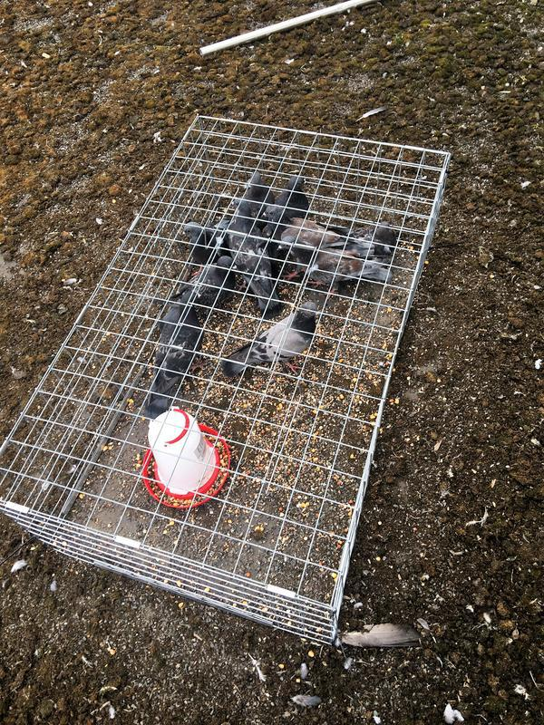 Image 18 - Pigeon Trapping and removal Services