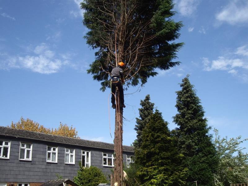 Image 14 - Felling conifer tree