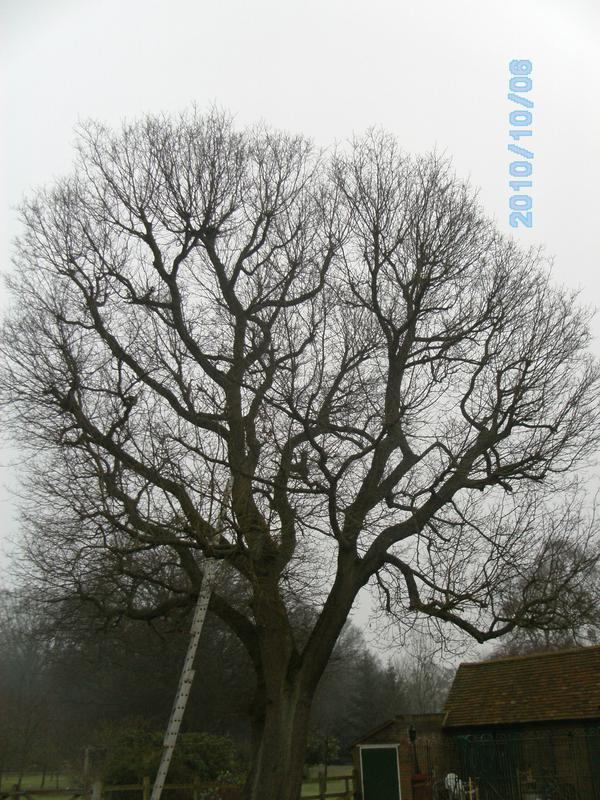 Image 14 - large mature oak tree before 30% reduction