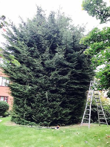 Image 14 - Conifer tidy (Before)