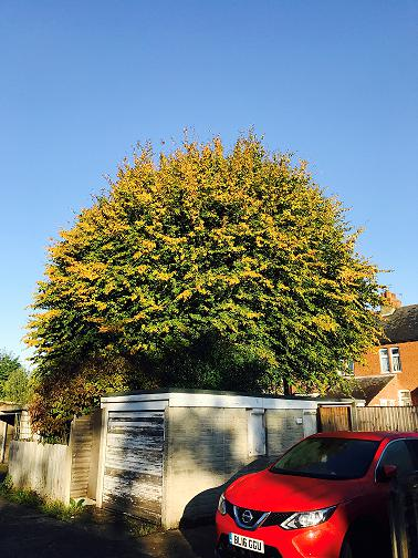 Image 16 - Large Hornbeam (Before) 30% Crown Reduction