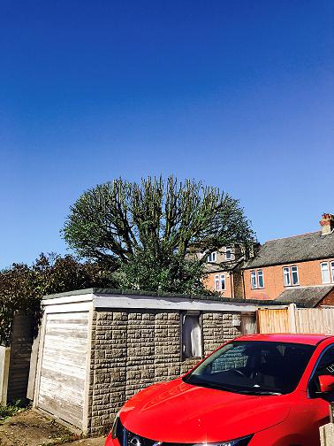 Image 17 - Large Hornbeam (After) 30% Crown Reduction