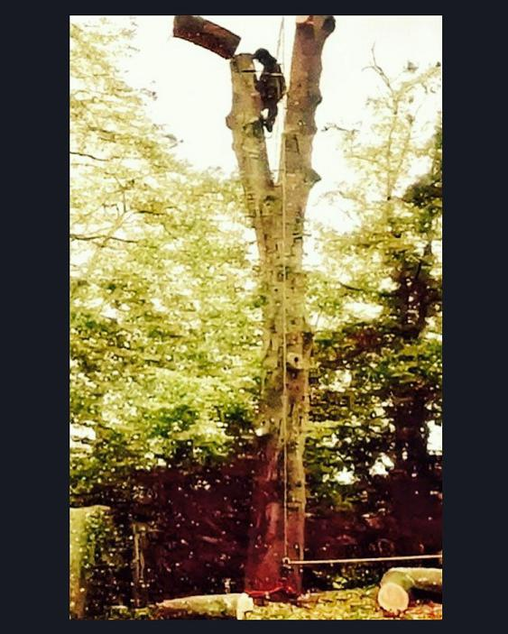 Image 23 - Beech Tree Take Down in Ware, Hertfordshire.