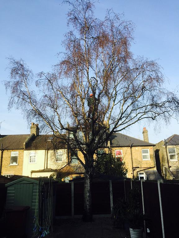 Image 27 - Out of shape Silver Birch tree (Before) Crown Reduction