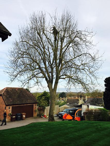 Image 36 - Ash Tree (Before) 20% Crown Reduction