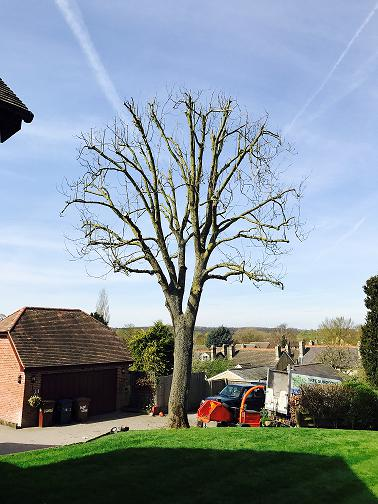 Image 37 - Ash Tree (After) 20% Crown Reduction