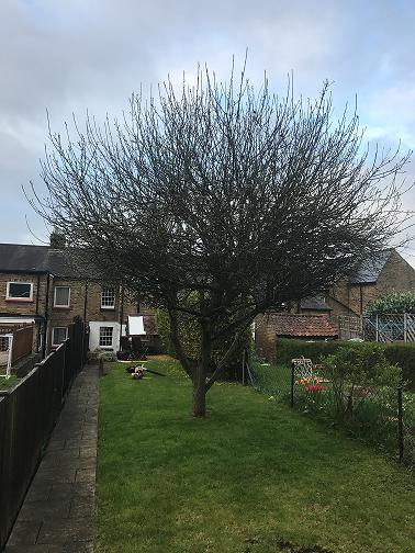 Image 38 - Apple Tree (Before) Crown Thinning