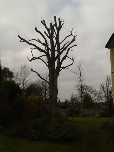Image 13 - mature beech tree, reduce back to previous points after