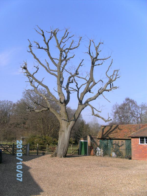 Image 11 - large oak tree reduction after