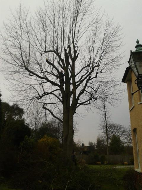 Image 12 - mature beech tree, reduce back to previous points before