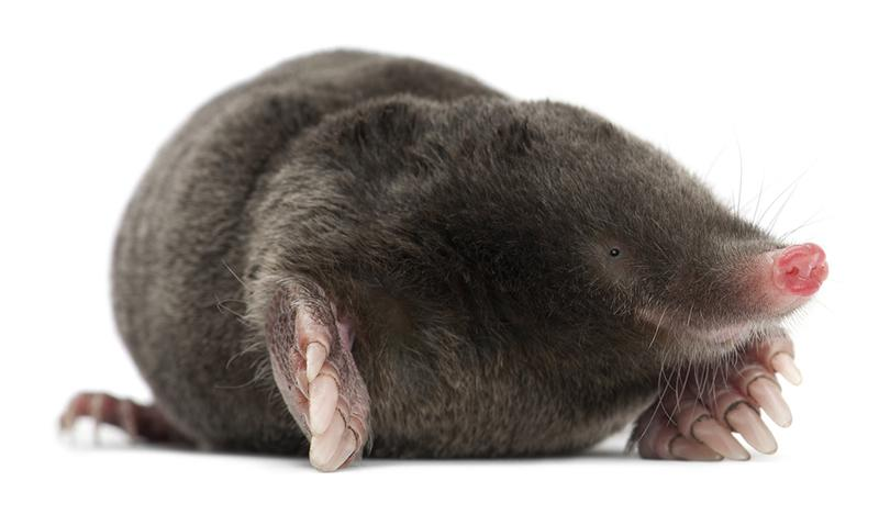 Image 9 - Moles are very industrious, house proud little creatures. The problem is, their housework can make a real mess of your lawn, playing field or sports pitch, causing you a maintenance headache!CID Pest Control provide a full range of solutions to deal with your wildlife pest issue. We will identify the species and the cause of infestation, locate all points of entry and implement an efficient, safe and humane form of pest control with the use of modern trapping methods.