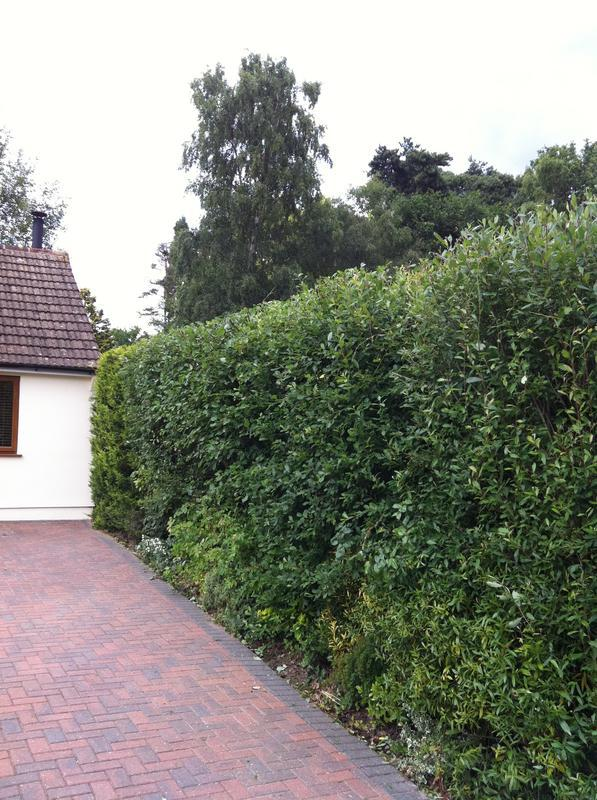 Image 66 - hedge after trimming
