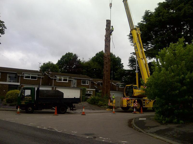 Image 4 - Felling 110ft Wellingtonia!