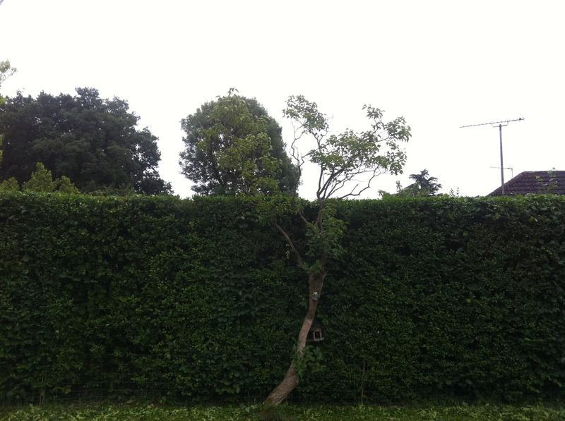 Image 68 - hedge after trimming