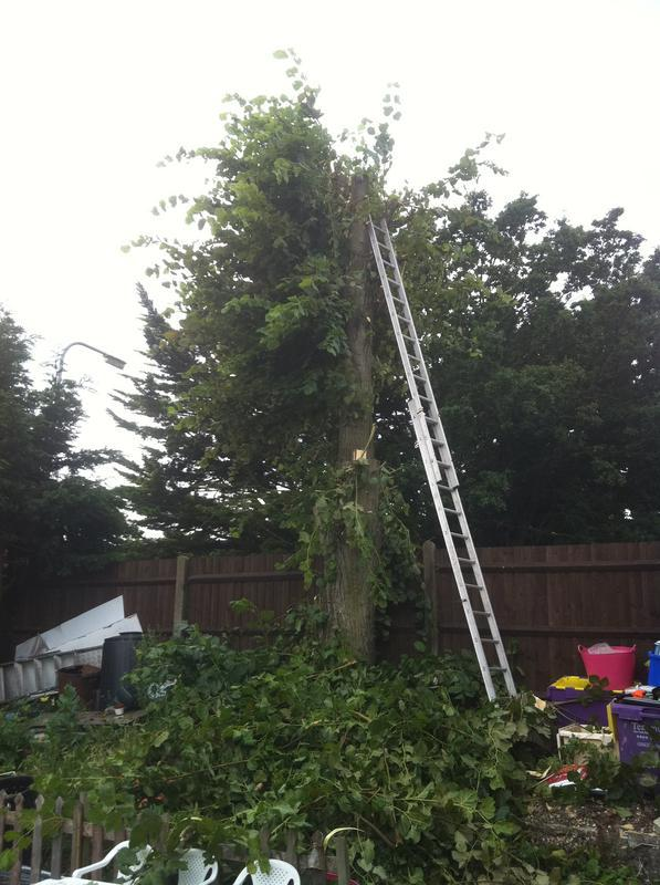 Image 83 - large seder tree before felling