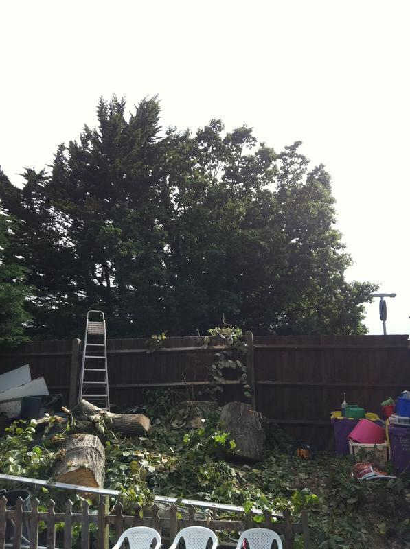 Image 84 - large seder tree after felling
