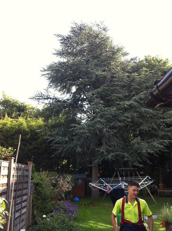 Image 69 - very large scottish pine before felling