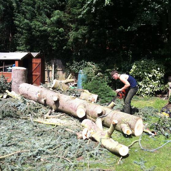 Image 91 - scottish pine after felling starting to log
