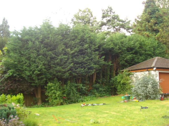 Image 6 - conifers before topping half way down