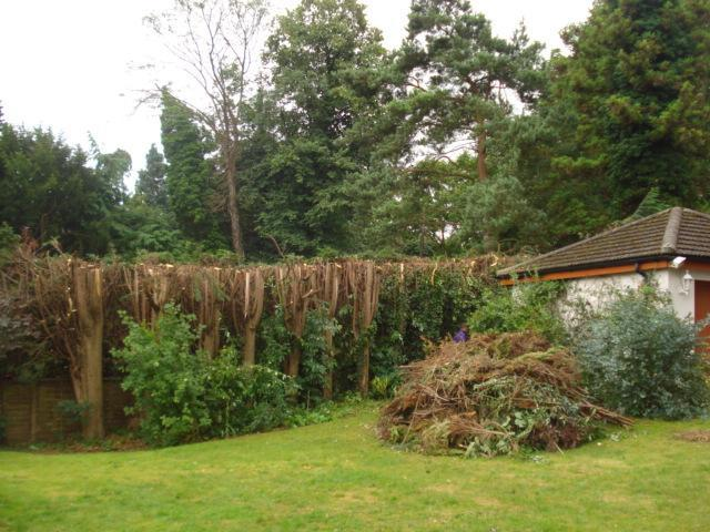 Image 7 - conifers after topped halfway