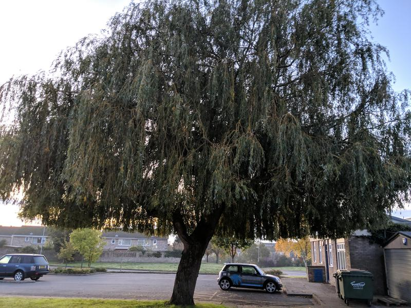 Image 2 - Willow Before (Pollarding)