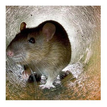 Image 25 - Rodents
