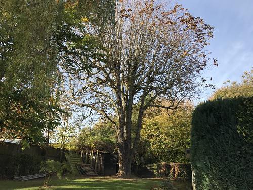 Image 1 - Horse chestnut before