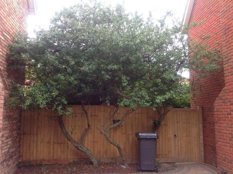 Image 33 - Pyracantha topping in Woodham Ferrers before