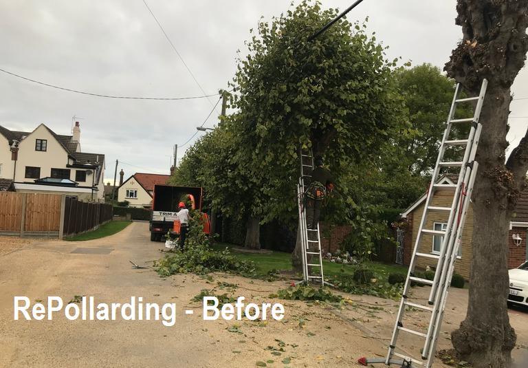 Image 11 - Pollarding works BEFORE