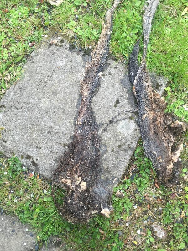 Image 17 - Tree roots in drain