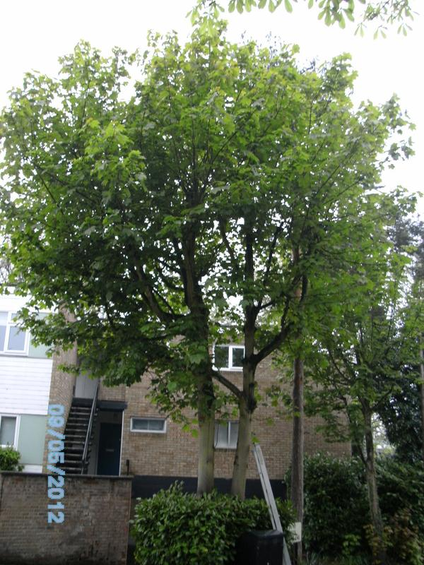 Image 8 - sycomore tree removal before