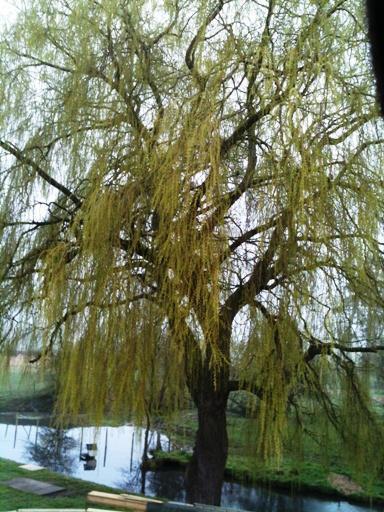 Image 6 - Before Pollard (Willow)