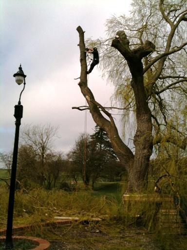 Image 7 - During Pollard (Willow)