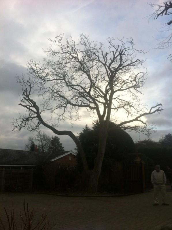 Image 19 - walnut tree, 20% reduction after