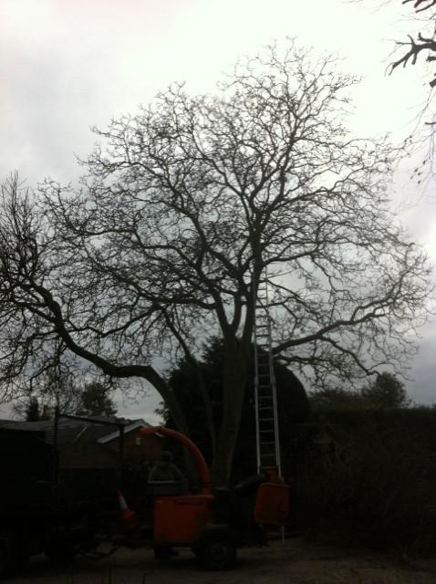 Image 18 - walnut tree, 20% reduction before