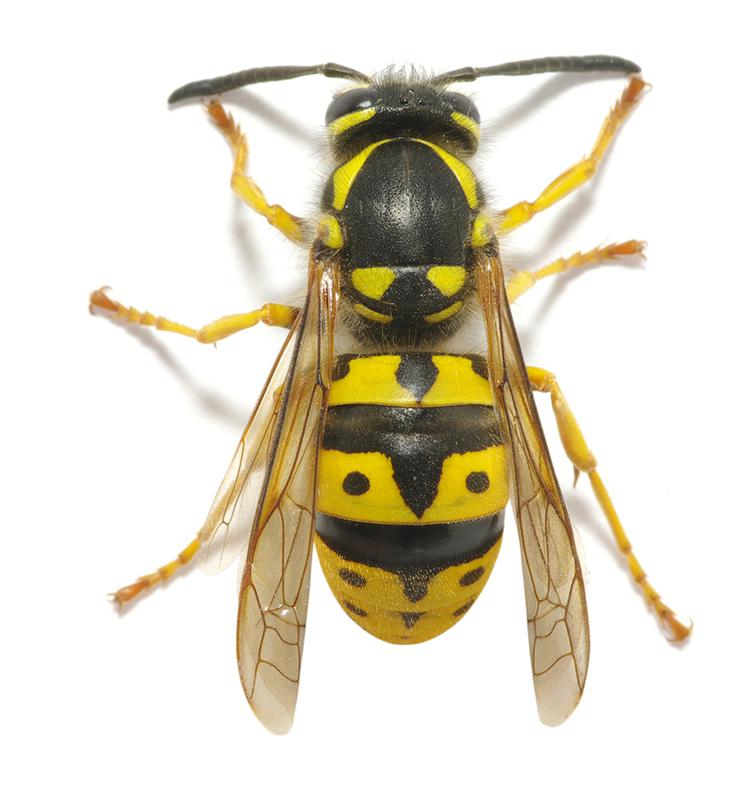 Image 2 - CID Pest Control provide a full range of solutions to deal with any Wasp or Hornet issue or requirement you may have. We will identify the species and the source of infestation, it's access points and nesting areas and implement an efficient, economic and safe form of pest control.