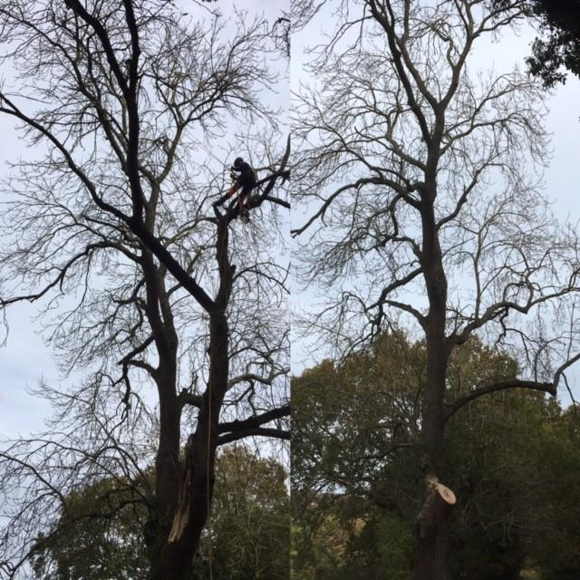 Image 4 - Dismantling a storm damage stem on this Ash tree