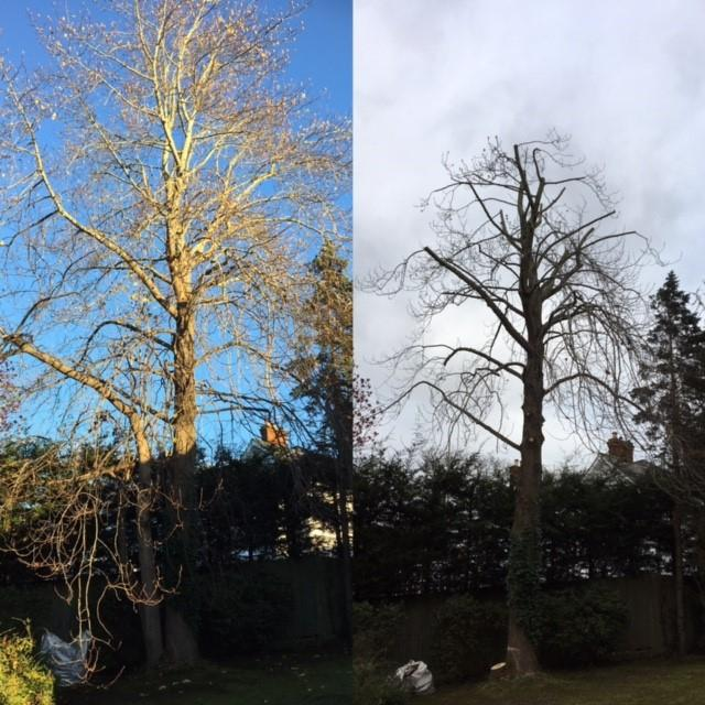 Image 3 - Crown reduction by 3m and removal of supressed stems on a mature Tulip tree.