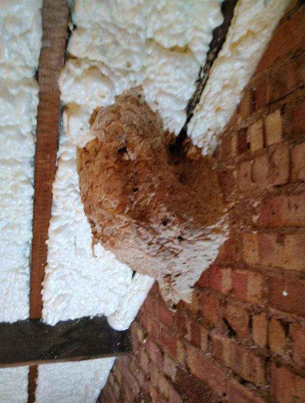 Image 12 - A newly insulated loft provided these wasps with the perfect nesting place.
