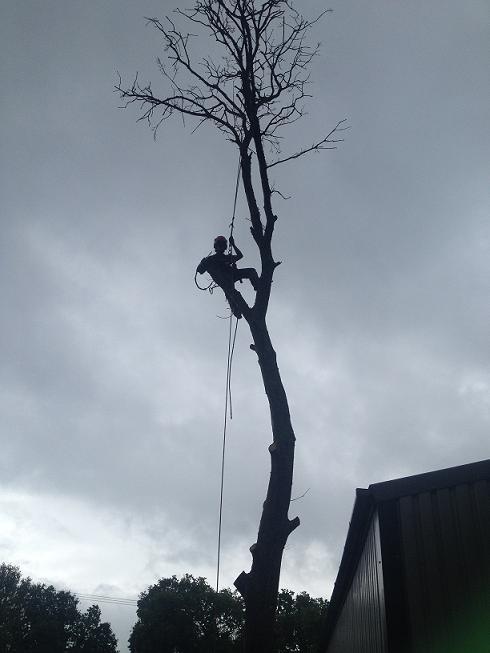 Image 8 - Dead Oak dismantle.